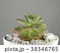 多肉植物 38346765