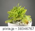 多肉植物 38346767