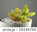 多肉植物 38346769