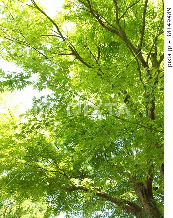 初夏の陽射しを浴びる緑葉 38349489