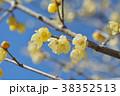 ロウバイ 蝋梅 黄色の写真 38352513