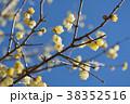 ロウバイ 蝋梅 黄色の写真 38352516