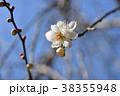 ウメ 梅 満月枝垂の写真 38355948