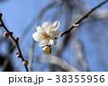 ウメ 梅 満月枝垂の写真 38355956