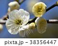 ウメ 梅 花の写真 38356447