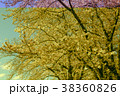 花 桜 春の写真 38360826
