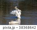 一の関ため池親水公園 白鳥 野鳥の写真 38368642