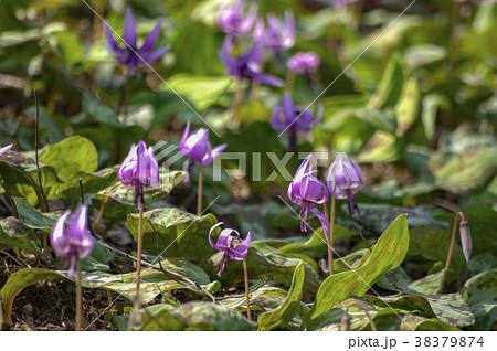 早春に咲くカタクリの花 38379874