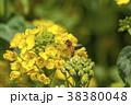 菜の花 春 花の写真 38380048
