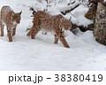 オオヤマネコ 動物 ゆきの写真 38380419