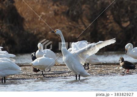 白鳥の羽根 38382927