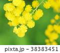 ミモザ 花 黄色の写真 38383451