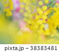 ミモザ 花 黄色の写真 38383481