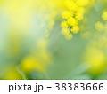 ミモザ 花 黄色の写真 38383666