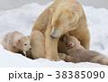 ホッキョクグマ 熊 動物の写真 38385090