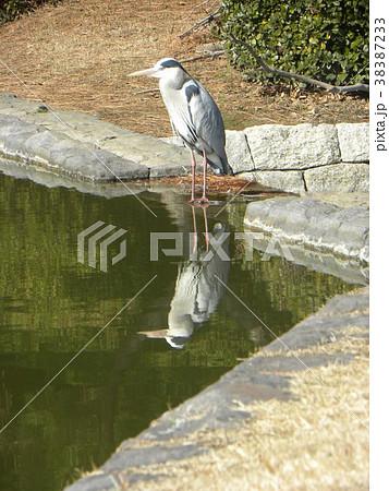 稲毛海浜公園の池のアオサギ 38387233