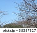 大分膨らんだ稲毛海岸駅前カワヅザクの蕾 38387327