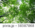 ブナ林 樹木 木の写真 38387868