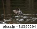 オナガガモ 鴨 鳥の写真 38390294