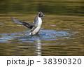 オナガガモ 鴨 鳥の写真 38390320
