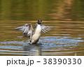 オナガガモ 鴨 鳥の写真 38390330