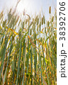 ビール麦 麦畑(5月) 38392706