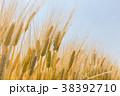 ビール麦 麦畑(5月) 38392710