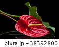 Red Anthurium on black. 38392800