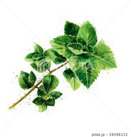Mint on white background. Watercolor illustration 38396152
