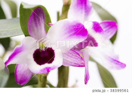ピンクと白のデンドロビウムの花のアップ 38399561