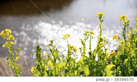 小川のキラキラをバックにアブラナの花 38399570