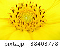 ヒマワリ 花 黄色の写真 38403778