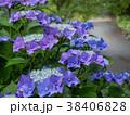 アジサイ 紫陽花 梅雨の写真 38406828