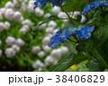アジサイ 紫陽花 梅雨の写真 38406829