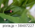 蛍 虫 昆虫の写真 38407227