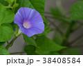 アサガオ 朝顔 花の写真 38408584