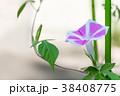 アサガオ 朝顔 花の写真 38408775