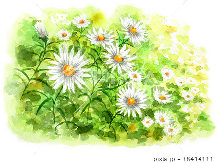 水彩で描いたカモミールの群生 38414111