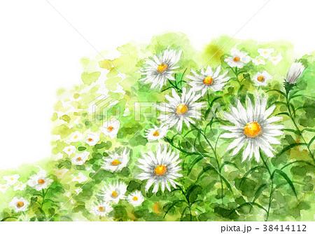 水彩で描いたカモミールの群生 38414112
