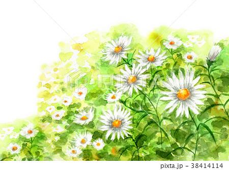 水彩で描いたカモミールの群生 38414114