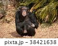 チンパンジー 類人猿 動物の写真 38421638
