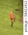 ウシ科 シタツンガ 動物の写真 38421912