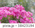 花 バラ 植物の写真 38423194