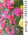 花 バラ 植物の写真 38423219