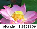 蓮の花 蓮 花の写真 38423809