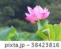蓮の花 蓮 花の写真 38423816