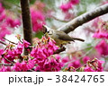 鳥 野鳥 青灰色の写真 38424765