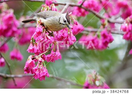 鳥 野鳥 青灰色 38424768