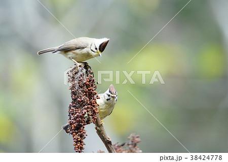 鳥 野鳥 青灰色 38424778