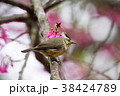 鳥 野鳥 青灰色の写真 38424789